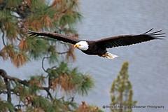 Incoming Eagle (Gary Grossman) Tags: eagle flight river pine tree nature wild wildlife oregon bird predator garygrossmanphotography wildlifephotography naturephotography pacificnorthwest birdofprey baldeagle