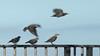 Starling Sequence (ƒliçkrwåy) Tags: nature bird starling sturnus vulgaris jamaiacabay newyork