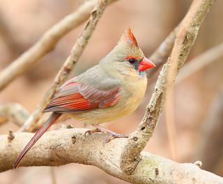 Northern-Cardinal-137w