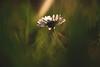 liebe am freitag. (sommerpfuetze) Tags: daisy natur green nature grasgeschichten gänseblümchen abendlicht grün lichtstrahl bokeh lensflare light blüte