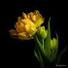 Yellow tulip (Magda Banach) Tags: canon canon80d sigma150mmf28apomacrodghsm blackbackground colors flora flower flowers green macro nature plants tulip yellow