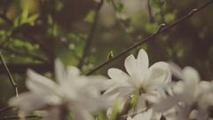20180422-155258 - Spring Garden Bokeh - '73 LOOK (torstenbehrens) Tags: spring garden bokeh schleswigholstein deutschland olympus epm1 m42 28200mm zhongyi objektiv turbo ii efm43 wecellent m42ef adapter
