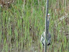 Hiding Heron (LouisaHocking) Tags: heron birds nature wild wildlife forest farm cardiff british