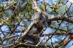 Grey Squirrel at RSPB Arne (DougRobertson) Tags: grey squirrel arne rspb animal nature wildlife tree