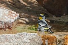 Audubon's Warbler (6105) (Bob Walker (NM)) Tags: bird bathing yrwa auwa yellowrumpedwarbler audubonswarbler setophagacoronata setophagacoronataauduboni rockpool warbler whiterock newmexico usa