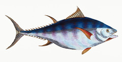 Tunny (Scomber Thynnus) illustration from The Natural History of British Fishes (1802) by Edward Donovan (1768-1837). Digitally enhanced from our own original edition. (Free Public Domain Illustrations by rawpixel) Tags: greatbritain otherkeywords animal antique aquatic artwork atlantic blue bluefin britain british britishfish cc0 colored donovan drawing edonovan eat edward edwarddonovan fish fishing food gourmet handdrawn illustrated illustration ingredient isolated isolatedonwhite marine marinelife market name nature ocean pictorialworks publicdomain scomberthynnus sea seawater seafood tags thenaturalhistoryofbritishfishes tuna tunny uk vintage whitebackground