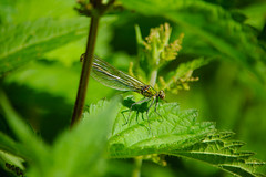 Banded demoiselle (Calopteryx splendens), female (Dave_A_2007) Tags: calopteryxsplendens bandeddemoiselle damselfly insect nature wildlife stratforduponavon warwickshire england
