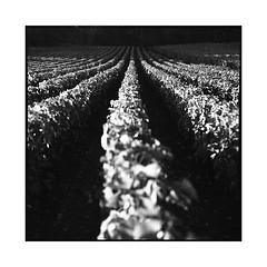 grapes 2 • chenove, burgundy • 2016 (lem's) Tags: vineyard vignes vignoble wine grapes raisin vin chenove bourgogne burgundy speed graphic graflex