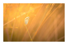 Common Blue (David Haughton) Tags: commonblue butterfly grass sunset glow glowing light warm gold maram sanddunes helios44m 58mm f2