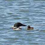 Common Loon With Chick thumbnail