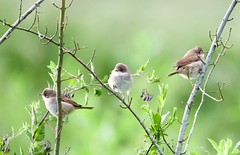 Whitethroat - Taken at Sywell Country Park, Sywell, Northamptonshire. UK. (Ian J Hicks) Tags: