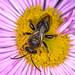Bee Wildbiene 180615 025.jpg