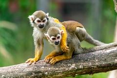 Serengeti Park (bh-fotografie) Tags: serengeti park hannover hodenhagen animals tierpark zoo sony a7 a7rii alpha canon 70300 usm ii nano
