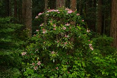 Pretty in Pink (quickking) Tags: forest rain california redwoods