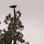 Osprey perched on top of a tree thumbnail