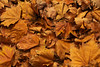 Autumn Leaves (|Sarah|) Tags: leaves plant macro botanicalgardens nature photography southaustralia autumn adelaide macrophotography yellow orange canon1200d