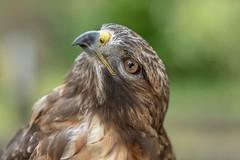 Look up (michel1276) Tags: vogel tier animal bird birdsofprey raptor greifvogel bussard buzzard fe8514gm sonya7iii
