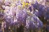 Wisteria, SE15 (Adam Swaine) Tags: spring flowers flora peckehamryepark naturelovers nature naturesfinest english england purplegreen british londonparks beautiful canon 2018 uk petals parks wisteria