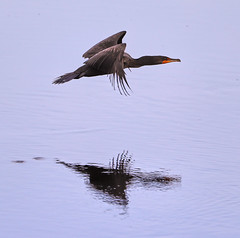 06-14-18-0022669 (Lake Worth) Tags: animal animals bird birds birdwatcher everglades southflorida feathers florida nature outdoor outdoors waterbirds wetlands wildlife wings