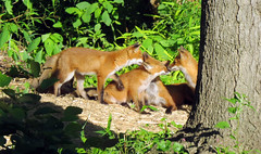 Mom and 4 Kits (rsouthj) Tags: foxes redfoxes foxkits nj njoutdoors