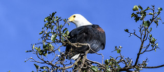 AFRICAN FISH EAGLE:  PREY !