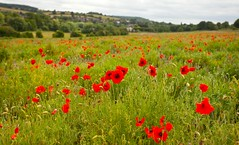 Darent Valley Kent (Adam Swaine) Tags: darentvalley eynsford poppies commonpoppy counties countryside kentweald kentishlandscapes kent england english britain wildflowers flora flowers canon british naturelovers nature uk ukcounties tourism englishlandscapes fields rural ruralkent aonb