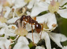 Myrmica SP (Alf Branch) Tags: alfbranch olympus olympusomdem1 omd olympusex25 sigma sigma105f28 nissini40 diffuser homemadediffuser macro macrodreams ngc closeup cumbria westcumbria ant myrmicasp insects insect invertibrate
