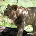Lion Looking Up