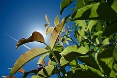 Sous le soleil,l exactement ! (mifranc91) Tags: fuji x100 feuilles leaves transparence structure matière