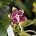 Phalaenopsis Brother Ambo Passion x Jessie Lee