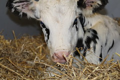 surprise ! New Life (excellentzebu1050) Tags: livestock newlife newborn calf farm birth born closeup dairycows animal animalportraits coth5
