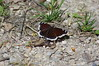 Trauermantel (Aah-Yeah) Tags: trauermantel camberwell beauty mourning cloak schmetterling butterfly tagfalter marquartstein achental chiemgau bayern