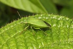 Hemiptera, Pentatomidae (Stink Bug) - Seychelles (Nick Dean1) Tags: hemiptera pentatomidae pentatomoidae stinkbug seychelles indianocean mahe animalia arthropoda arthropod hexapoda hexapod insect insecta