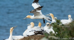 A collective noun of Gannets (keithhull) Tags: gannet seabirds bempton rspb cliffs northsea eastyorkshire birds