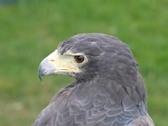 DSCF3618 (SierPinskiA) Tags: ruffordabbeycountrypark rufford knightsofnottingham fujixs1 jousting medieval horse knights goldeneagle falcon