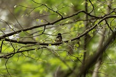 20180602-0I7A6092 (siddharthx) Tags: 7dmkii ananthagiri ananthagiriforest ananthagiriforestrange bird birdwatching birding birdsinthewild birdsofindia birdsoftelangana canon canon7dmkii cottoncarrierg3 ef100400f4556isii ef100400mmf4556lisiiusm forest goldenhour jungle landscape monsoon muddy nature rain rains telangana tree trees vikarabad wet wild wildbirds wildlife whitespottedfantail fantail india in