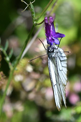 Black-veined White Aporia crataegi Samos Greece (JohnMannPhoto) Tags: blackveined white aporia crataegi samos greece butterfly
