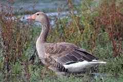 Prespes_34 (MoGoutz) Tags: greylag goose graugans anser oca selvatica μικρή πρέσπα πρέσπεσ σταχτόχηνα άγιοσ αχίλλειοσ prespes lake prespa st achilleios bird