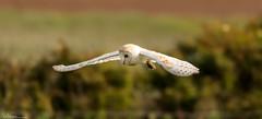 Barn Owl Hunting Early Evening (Steve (Hooky) Waddingham) Tags: bird british barn countryside coast nature northumberland prey wild wildlife voles mice