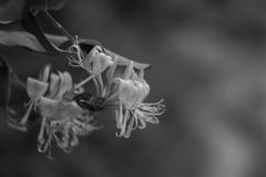 Scent My Way (Shastajak) Tags: honeysuckle blackandwhite monochrome pathkeh fragrant lonicera 1971supermulticoatedtakumar11855 takumar f18 manualfocus 55mm m42