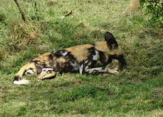 Painted dog with a bone (LadyRaptor) Tags: yorkshirewildlifepark yorkshire wildlife park doncaster ywp nature outdoors woodland spring summer time summertime warm sun sunny sunshine shine shade shaded grass laying eat eating meal food dinner meat bone cute animal animals carnivore predator hunter canidae canine canines pack african wild hunting painted dog dogs lycaonpictus