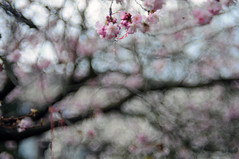 HBW 24/2018 (Frau Koriander) Tags: hbw happybokehwednesday bokehwednesday bokeh dof depthoffield sakura kirschblüten kirschblüte tree trees baum blossom blossoms blooming bloom bloomingtree spring frühling weinheim weinheimanderbergstrase freundschaftsband