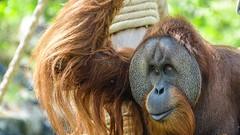 orang Outan Adulte (YᗩSᗰIᘉᗴ HᗴᘉS +17 000 000 thx) Tags: orangoutan gorille adulte animal pairidaiza zoo hensyasmine namur belgium europa aaa namuroise look photo friends be wow yasminehens interest intersting eu fr greatphotographers lanamuroise tellmeastory flickering