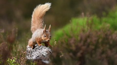 Red Squirrel (nick edge) Tags: redsquirrel scotland scottishwildlife caledonianforest