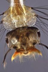 Mosquito larva (mr.sansibar) Tags: jansjö freshwater aquatic arthropoda focusstacking diptera planapo insect olympusbh2 photomicrography microscopy heliconfocus larva polarizedlight culicidae culex mosquito