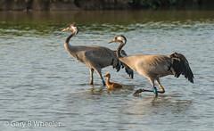 Common Crane (Ponty Birder) Tags: g b wheeler pontybirder garywheeler birds crane england slimbridge inexplore