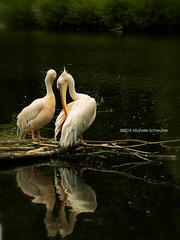 Pelican (Michelle Schreuder) Tags: pelican pelikaan vogel bird dier animal zoo dierentuin avifauna water spiegel mirror tak branch alphenaanderijn zuidholland nederland thenetherlands lespaysbas michelleschreuder breda noordbrabant samsungnx30