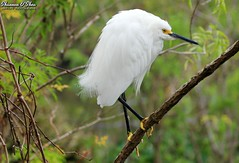 Giving me the bird (Shannon Rose O'Shea) Tags: shannonroseoshea shannonosheawildlifephotography shannonoshea shannon snowyegret egret bird beak yelloweye yellowfeet birdyfeet skinnylegs bokeh branch branches leaves green alligatorbreedingmarshandwadingbirdrookery gatorland orlando florida flickr wwwflickrcomphotosshannonroseoshea nature wildlife waterfowl art photo photography photograph wild wildlifephotography wildlifephotographer wildlifephotograph outdoors outdoor colorful fauna white canon canoneos80d canon80d eos80d 80d canon100400mm14556lisiiusm egrettathula feathers wings gatorlandbirdrookery rookery femalephotographer girlphotographer shootlikeagirl shootwithacamera throughherlens givingmethebird