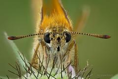 Portrait: Braunkolbiger Braun-Dickkopffalter (Thymelicus sylvestris) (AchimOWL) Tags: schmetterling insekt insect tier tiere animal makro macro landschaft outdoor pflanze gras wiese dmcgh5 gh5 natur nature lumix panasonic tagfalter ngc macrodreams schärfentiefe fauna wildlife braunkolbigerbraundickkopffalter braundickkopffalter thymelicus dickkopffalter hesperiidae butterfly brownskipper