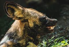 Sinister  Smile (Robert Streithorst) Tags: cincinnatizoo painteddogpup robertstreithorst teeth zoosofnorthamerica